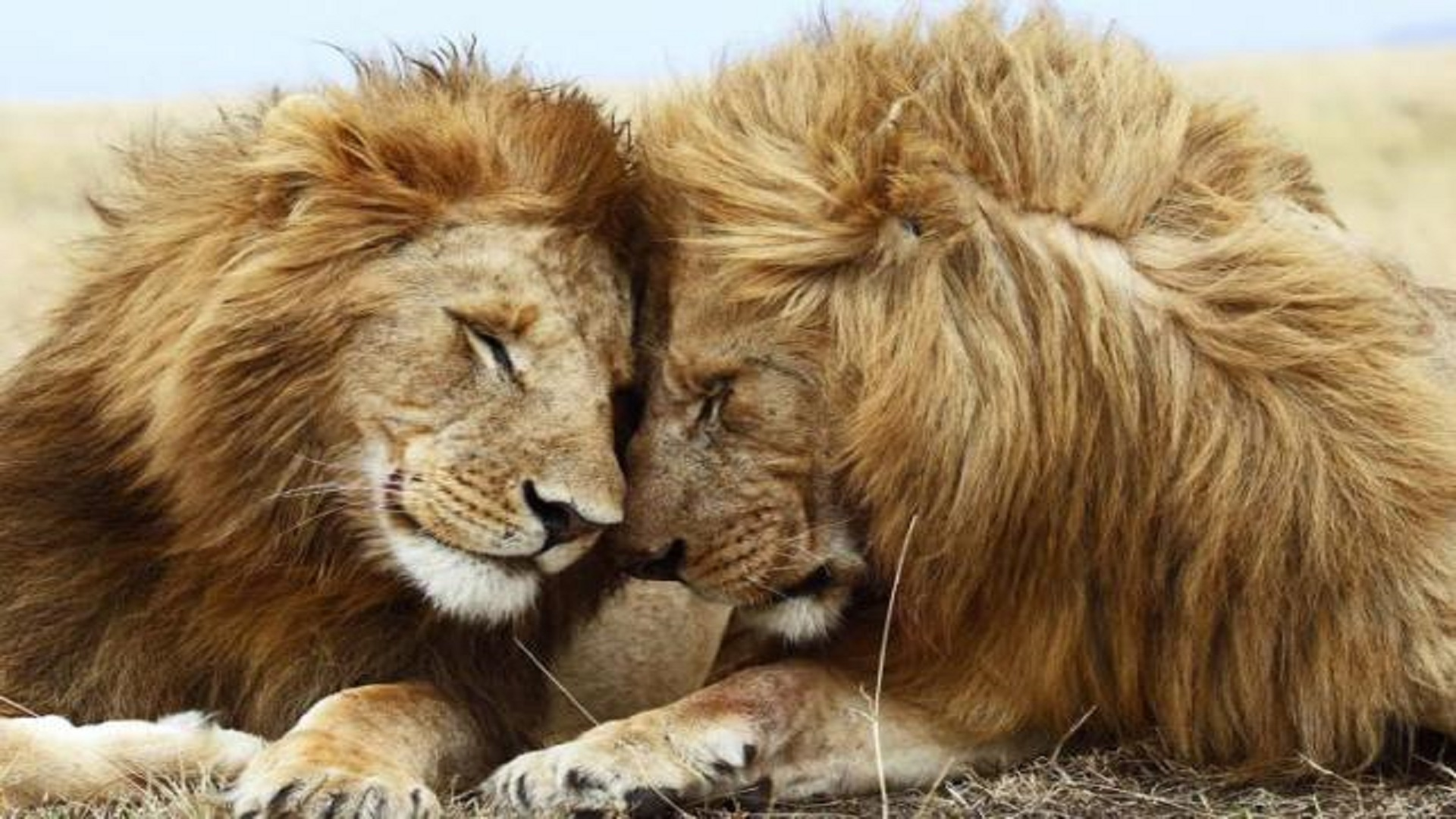 Abstract Animal Wallpaper African Lions Love Hd Wallpapers Free Hd Wallpaper