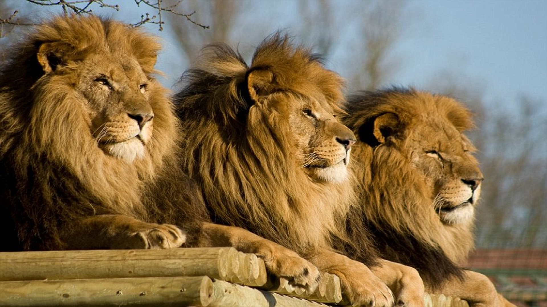Animated Jungle Wallpaper Beautiful Dangerous African Lion Hd Wallpapers Free