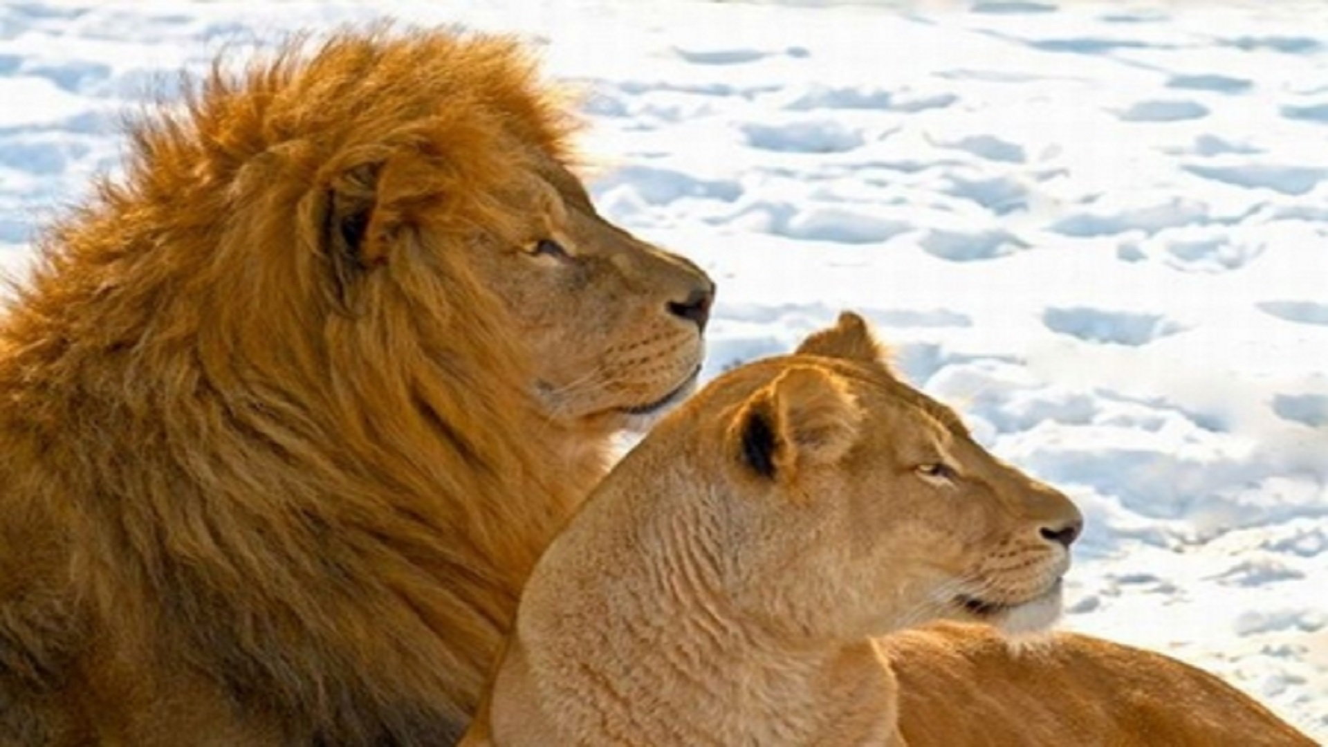 Hd Quote Wallpapers For Laptop Lion Couples In Africa Hd Free Wallpapers Hd Wallpaper