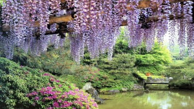 flowers garden pond wisteria-hd-wallpapers-free - HD Wallpaper