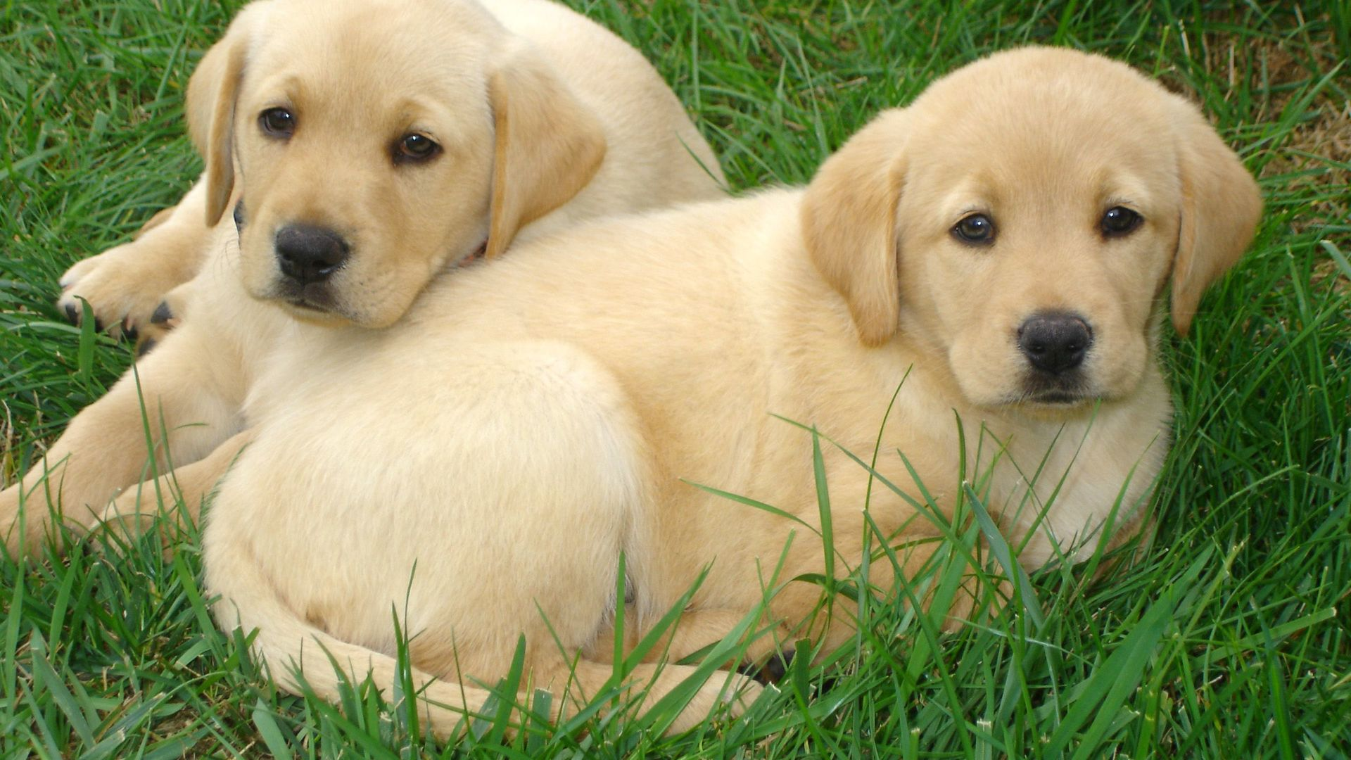Cute Dogs And Puppies Wallpaper For Mobile Labrador Retriever Puppies Free Hd Wallpapers Hd Wallpaper