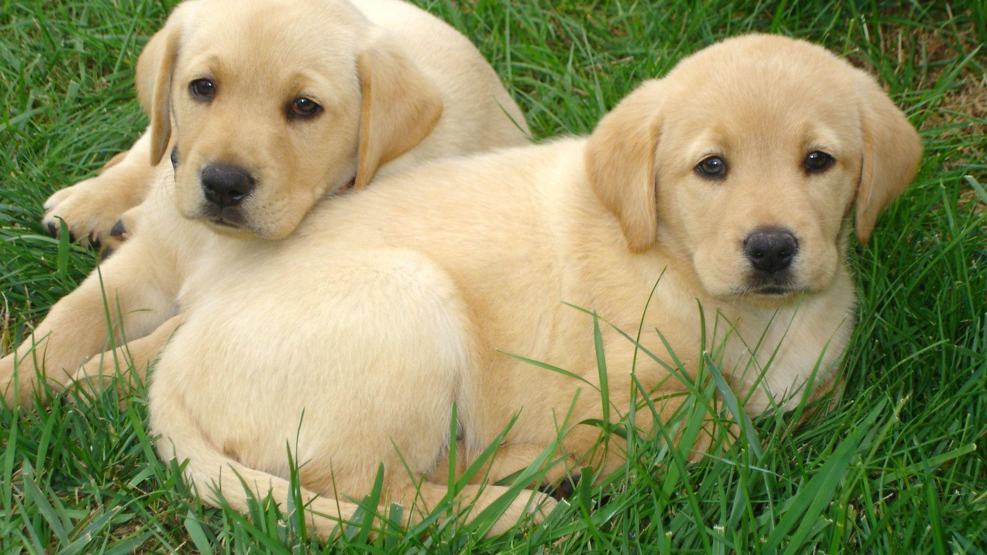 Puppies In Fall Wallpaper Labrador Retriever Puppies Free Hd Wallpapers Hd Wallpaper