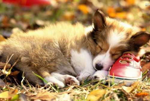 Fall Dog Wallpaper Pembroke Welsh Corgi Puppy Beautiful Sleeping On A Red