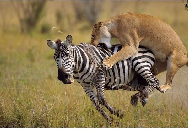Download Desktop 3d Wallpapers Lion Attacking Image Hd Wallpaper