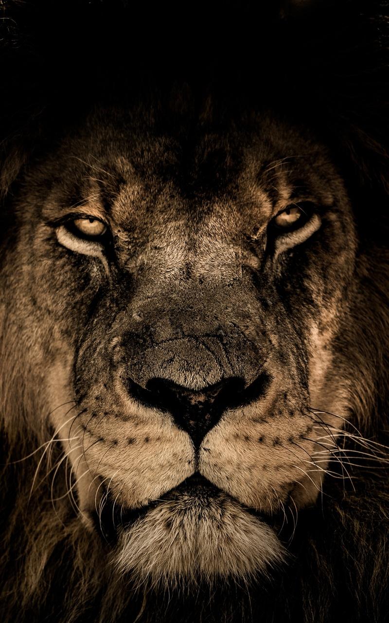 Angry Lion Wallpaper Hd 1080p 800x1280 African Lion Face Closeup 5k Nexus 7 Samsung