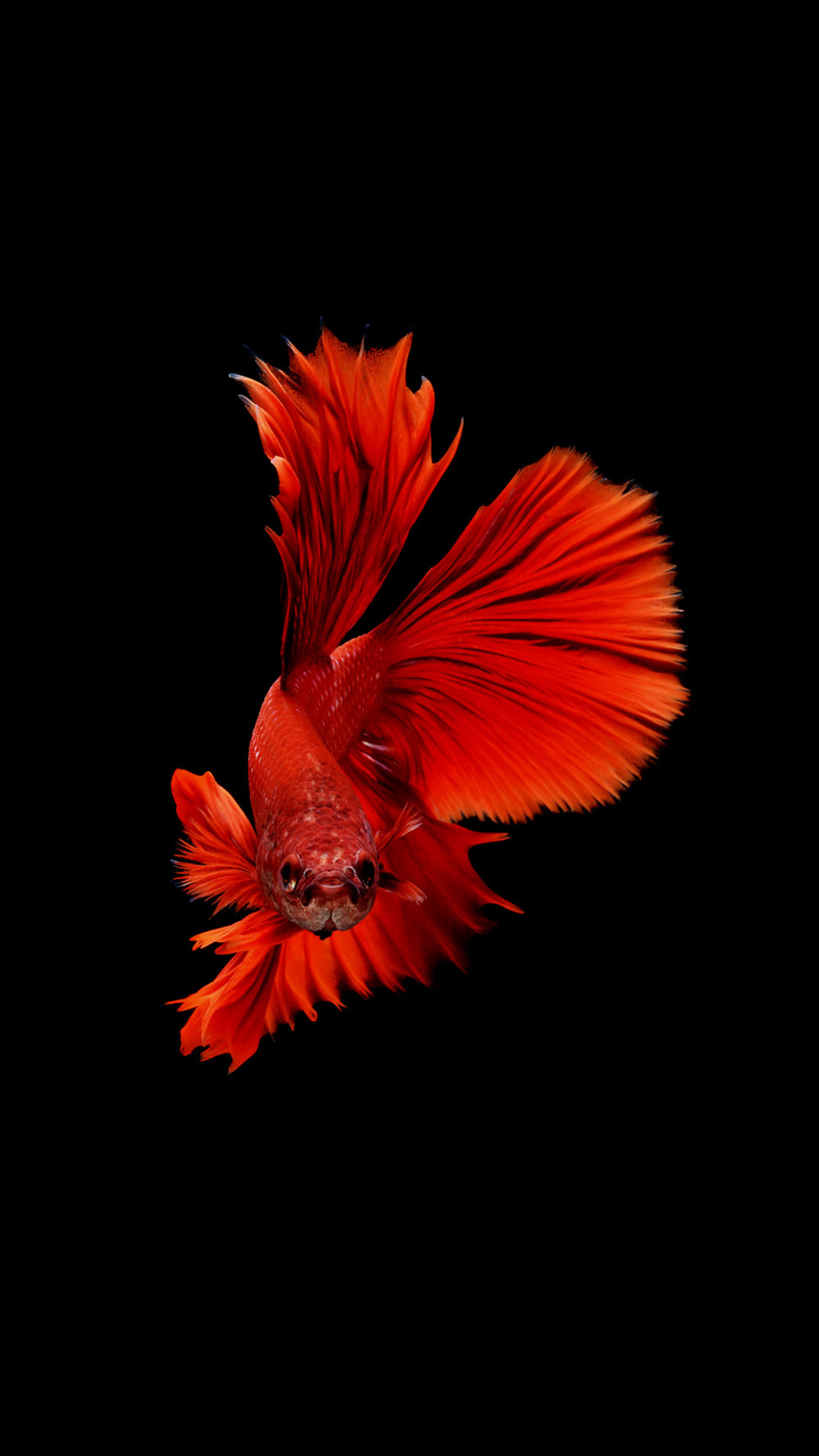 Moving Wallpapers For Iphone 6s 1440x2560 Betta Fish Samsung Galaxy S6 S7 Google Pixel Xl