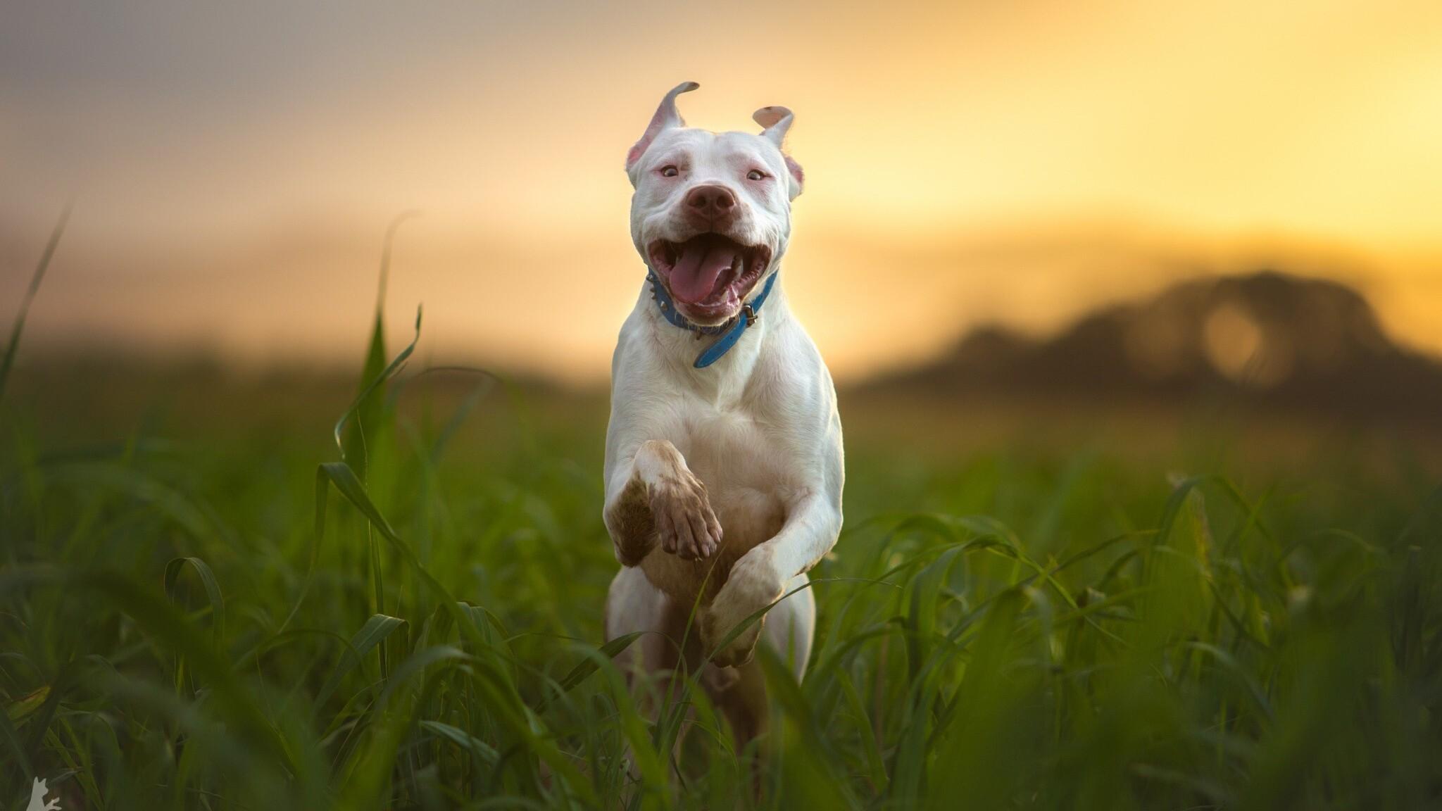 Pitbulls And Girls Wallpaper 2048x1152 Pitbull Dog Breed Running 2048x1152 Resolution