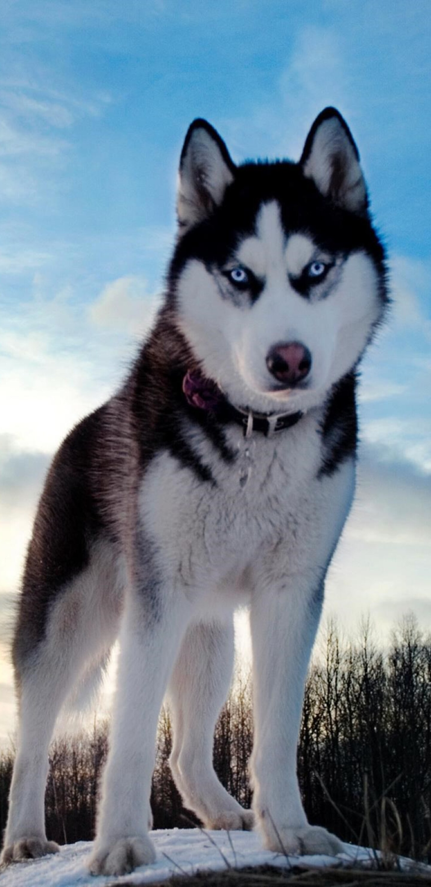 Samsung Galaxy S8 Wallpaper Hd 1440x2960 Siberan Husky 4 Samsung Galaxy Note 9 8 S9 S8