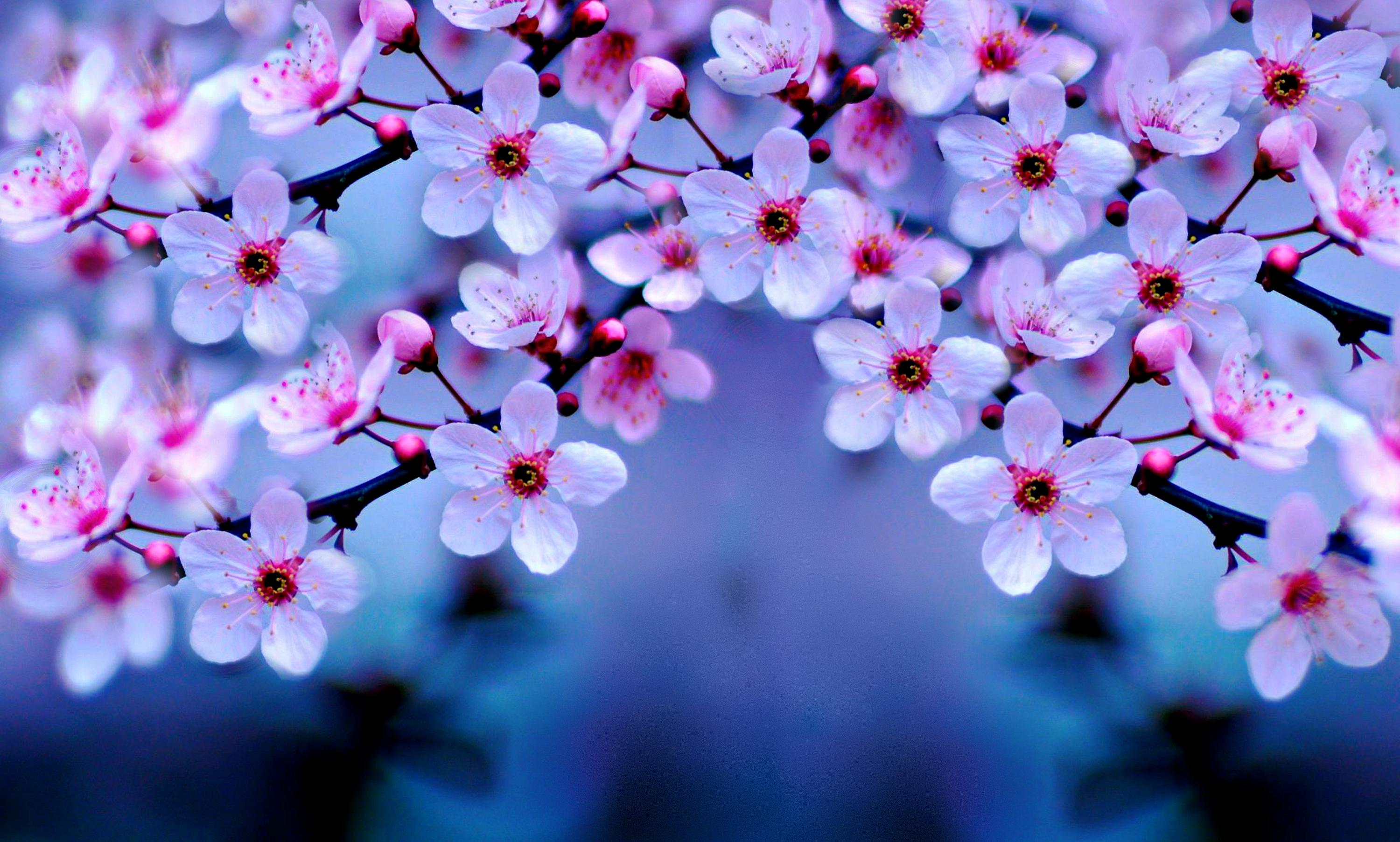 Wallpapers Cherry Blossom Cherry Blossom 4k Hd Flowers 4k Wallpapers Images Backgrounds