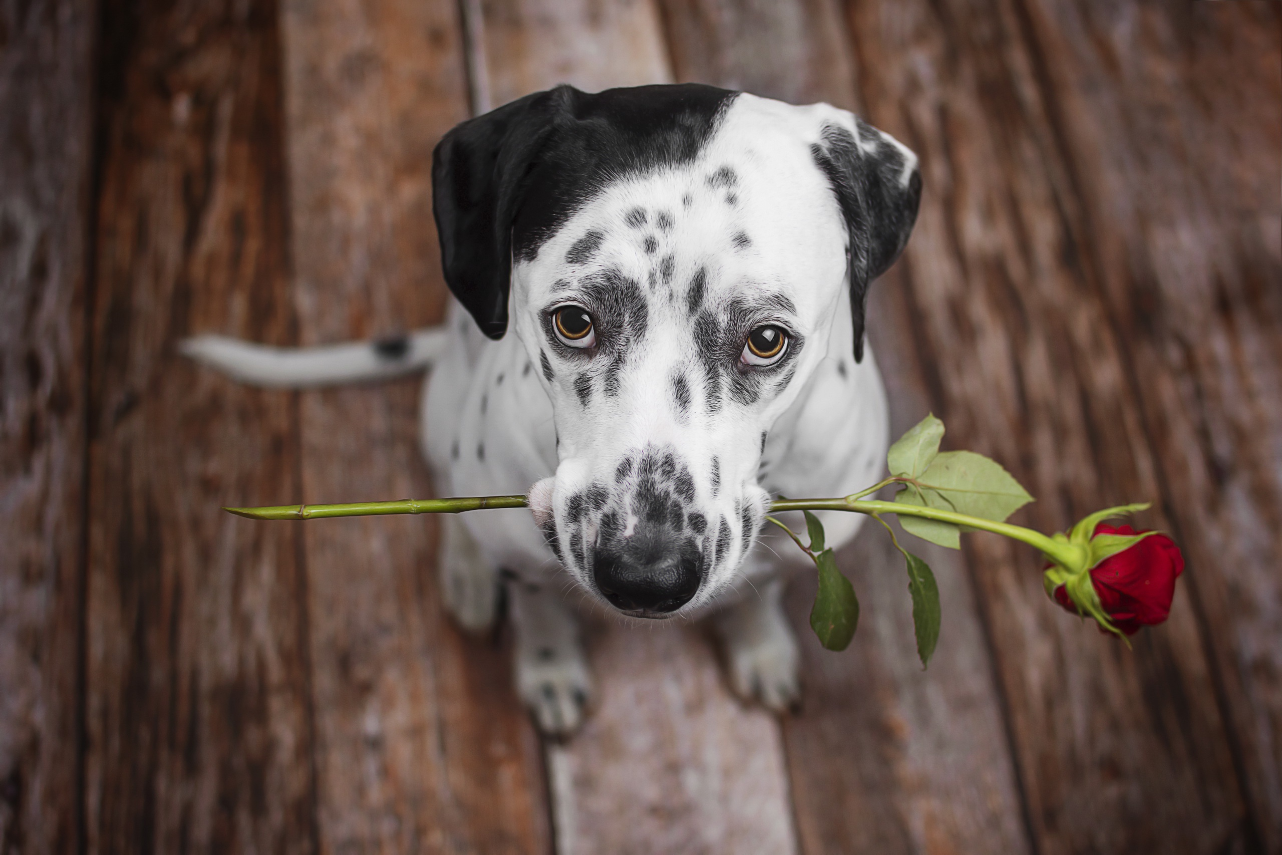 Indian Girls Wallpaper Download Dalmatian Dog Holding Red Flower In The Mouth Hd Animals