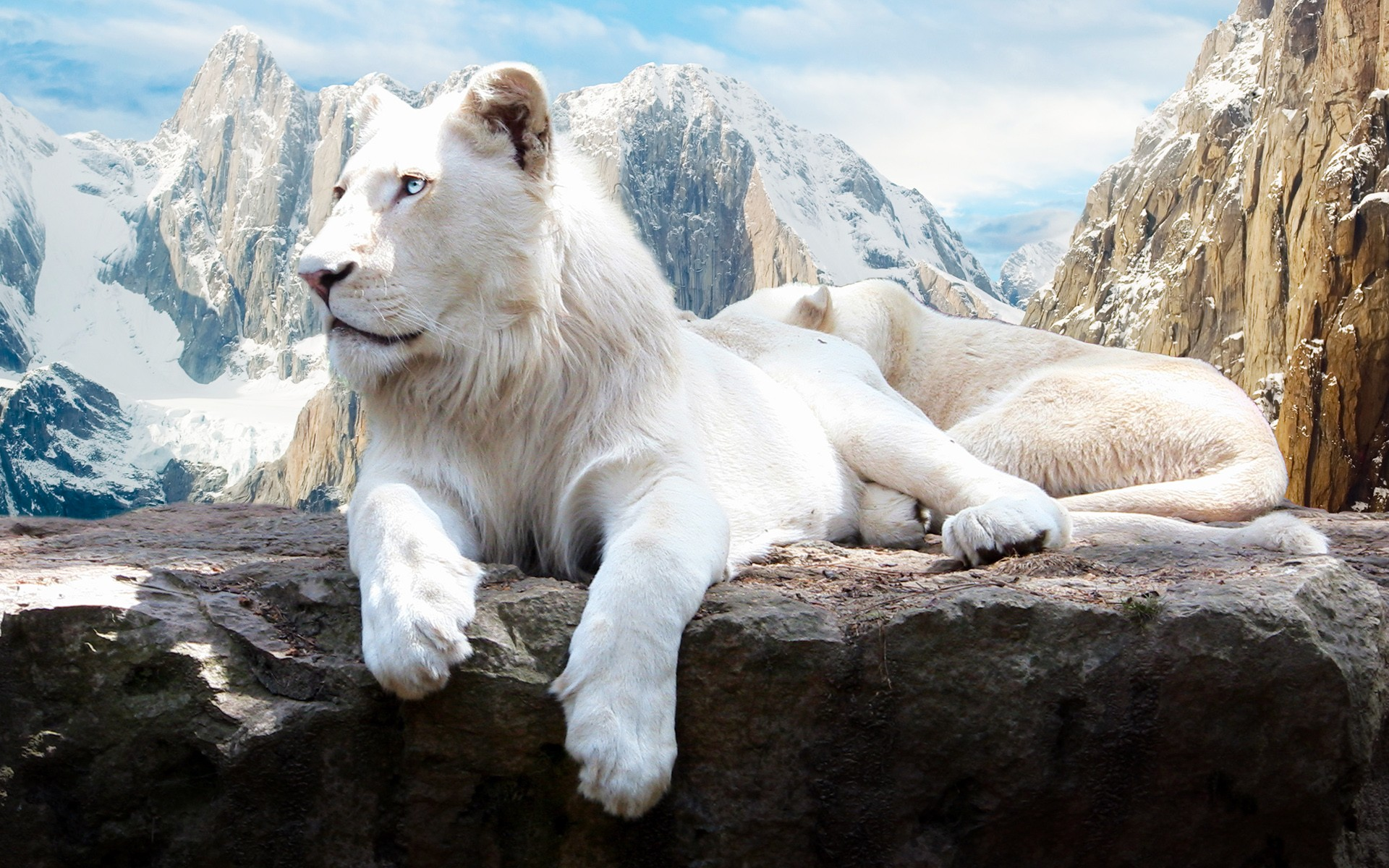 3d Lion Mobile Wallpaper Lion In Snow 4k Hd Animals 4k Wallpapers Images