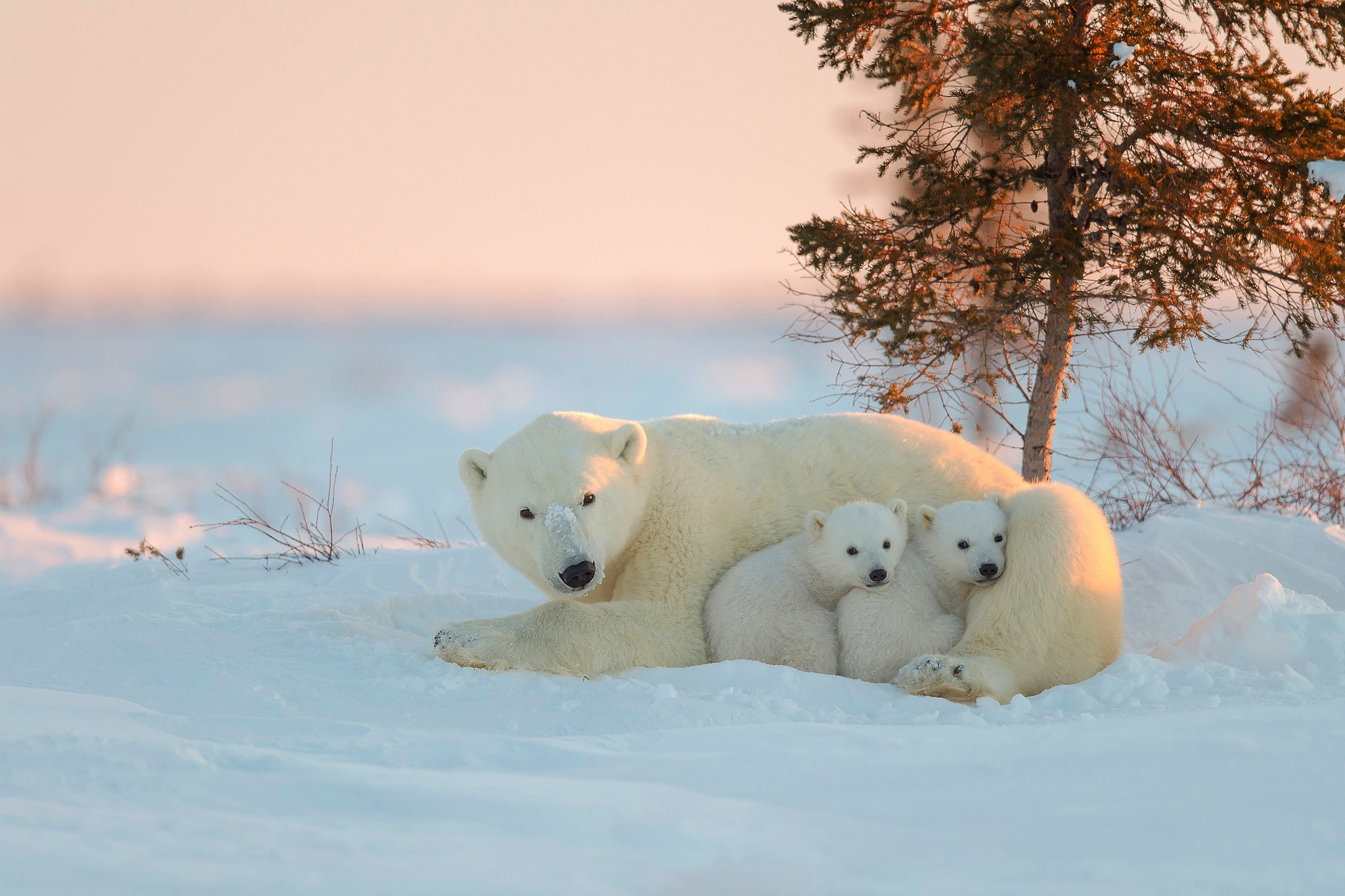 Cute Indian Baby Images For Wallpaper Polar Bear With Baby Hd Animals 4k Wallpapers Images