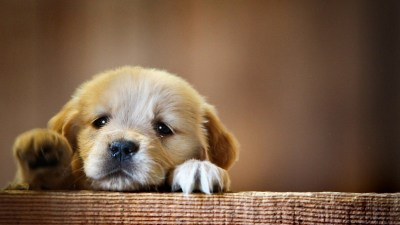 1360x768 Puppy Snout Dog Laptop HD HD 4k Wallpapers, Images, Backgrounds, Photos and Pictures