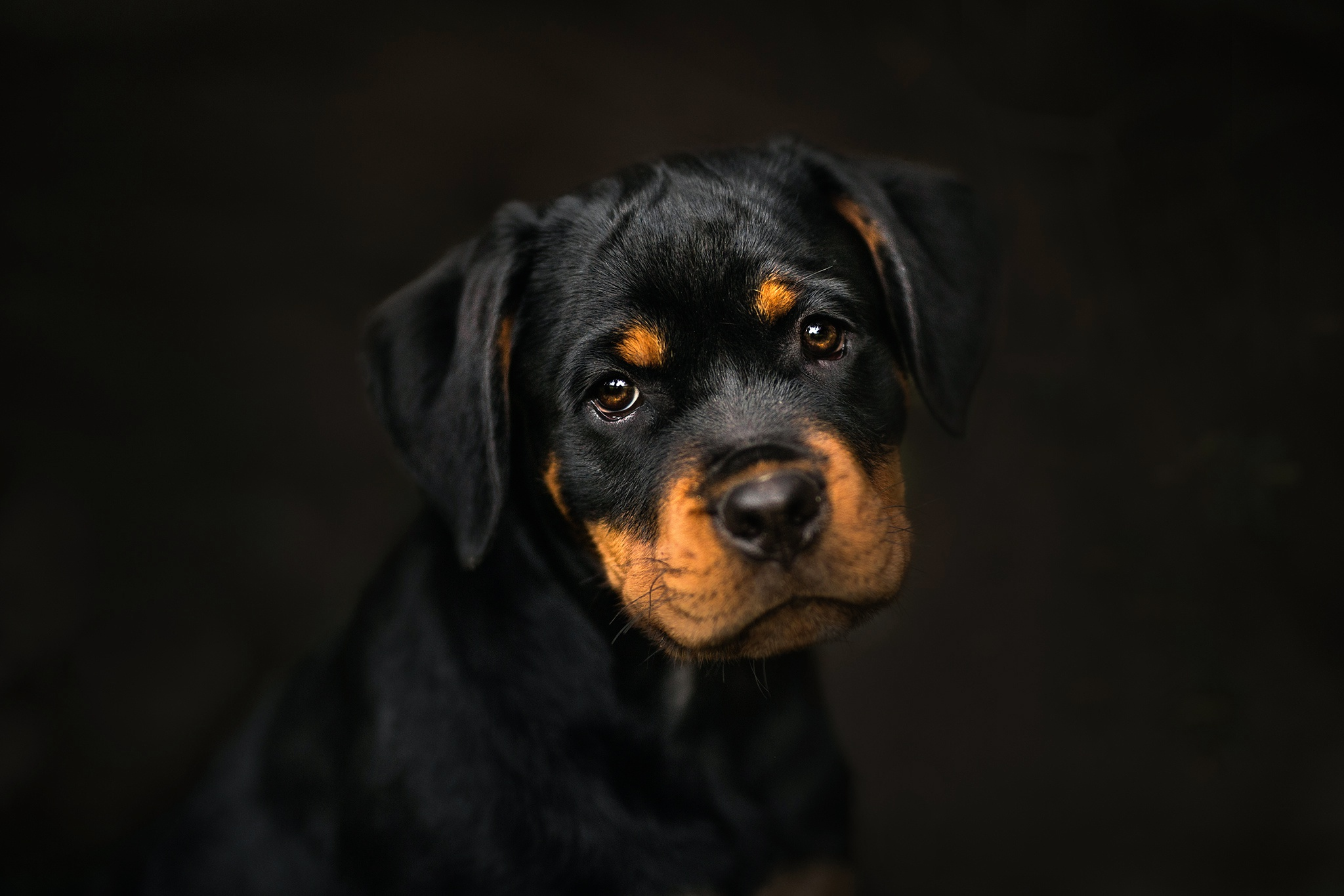 Cute Anime Dogs Wallpaper Rottweiler Hd Animals 4k Wallpapers Images Backgrounds