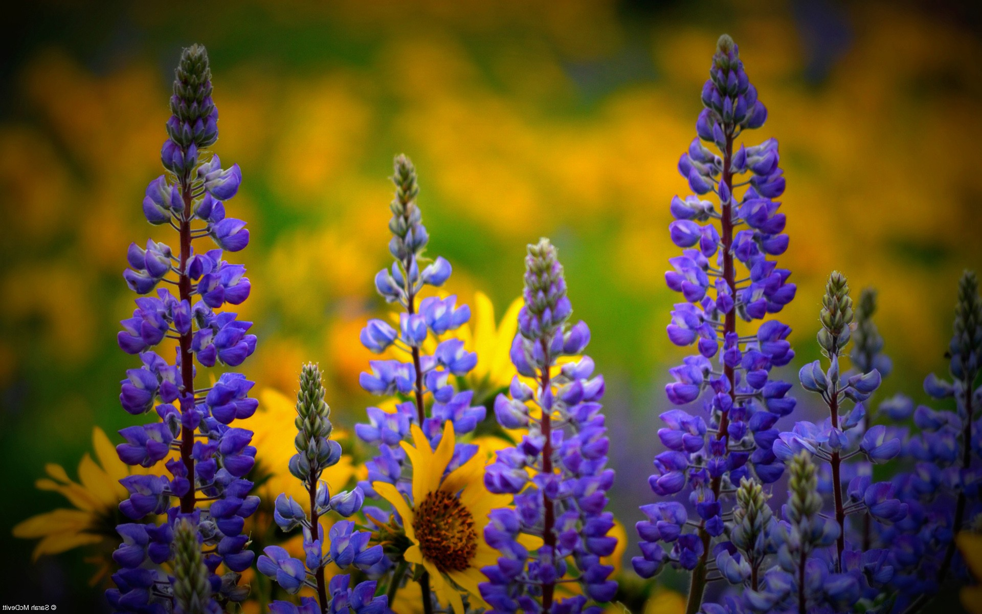 Wild Animals 3d Wallpapers Washington Wild Flowers Hd Flowers 4k Wallpapers Images