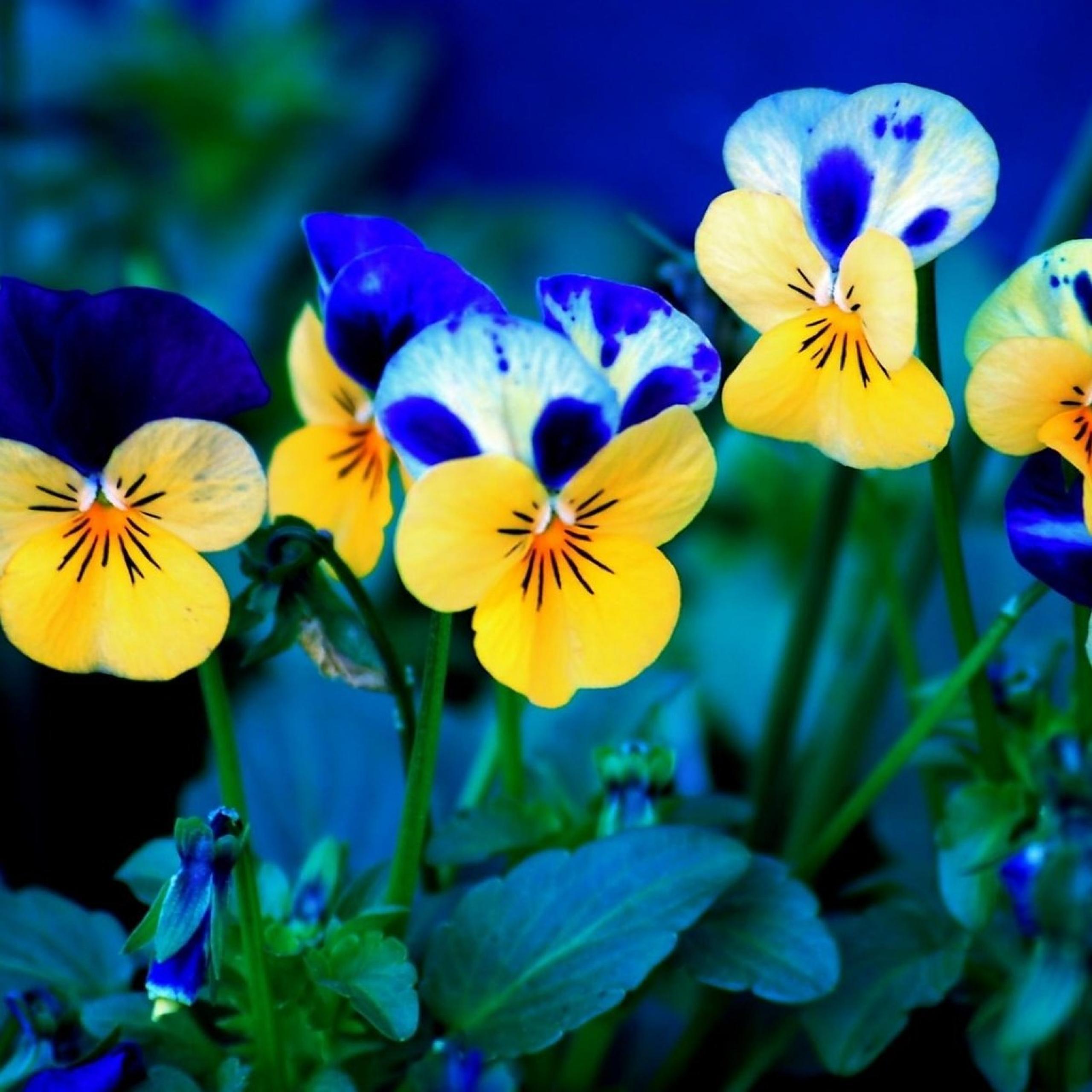 Iphone 5 Wallpaper Floral خلفيات ورد أزرق وأصفر عالية الدقة والوضوح خلفية شاشة صور