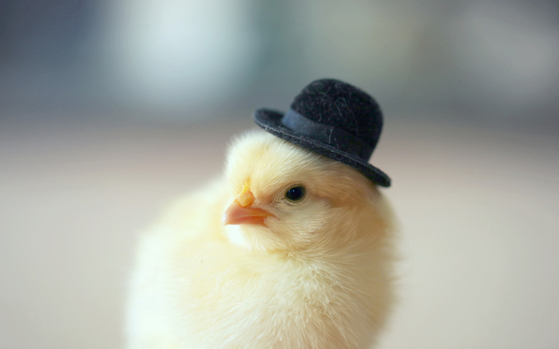 Cute Baby Animal Pictures Wallpapers Chicken Hd Wallpapers Amp Pictures Hd Wallpapers