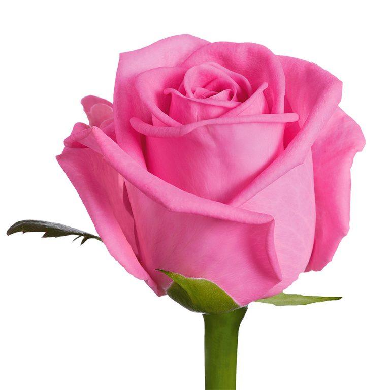 Falling Rose Petals Wallpaper Hd Pink Rose Photo 11095 Hdwpro