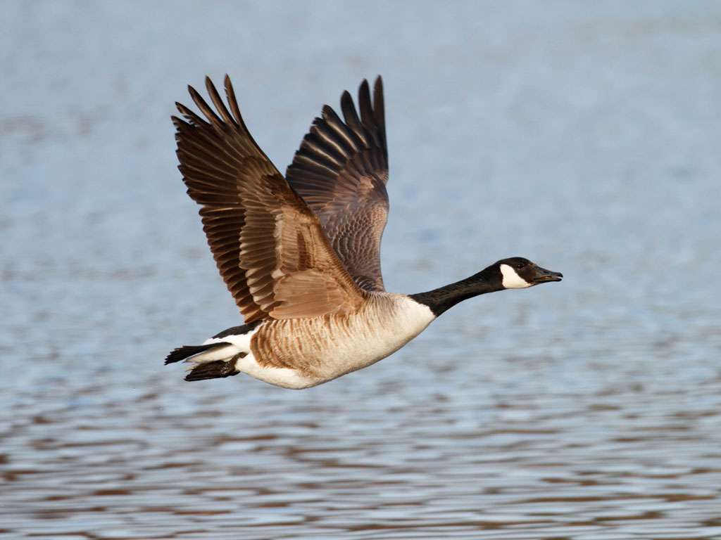 Fall Festival Wallpaper Stunning Goose Photo 11621 Hdwpro