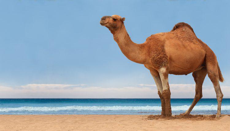 Camel Photo 20536 Hdwpro