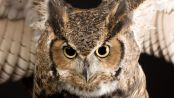 great-horned-owl_773_600x450
