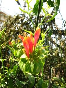 flowering vishalata