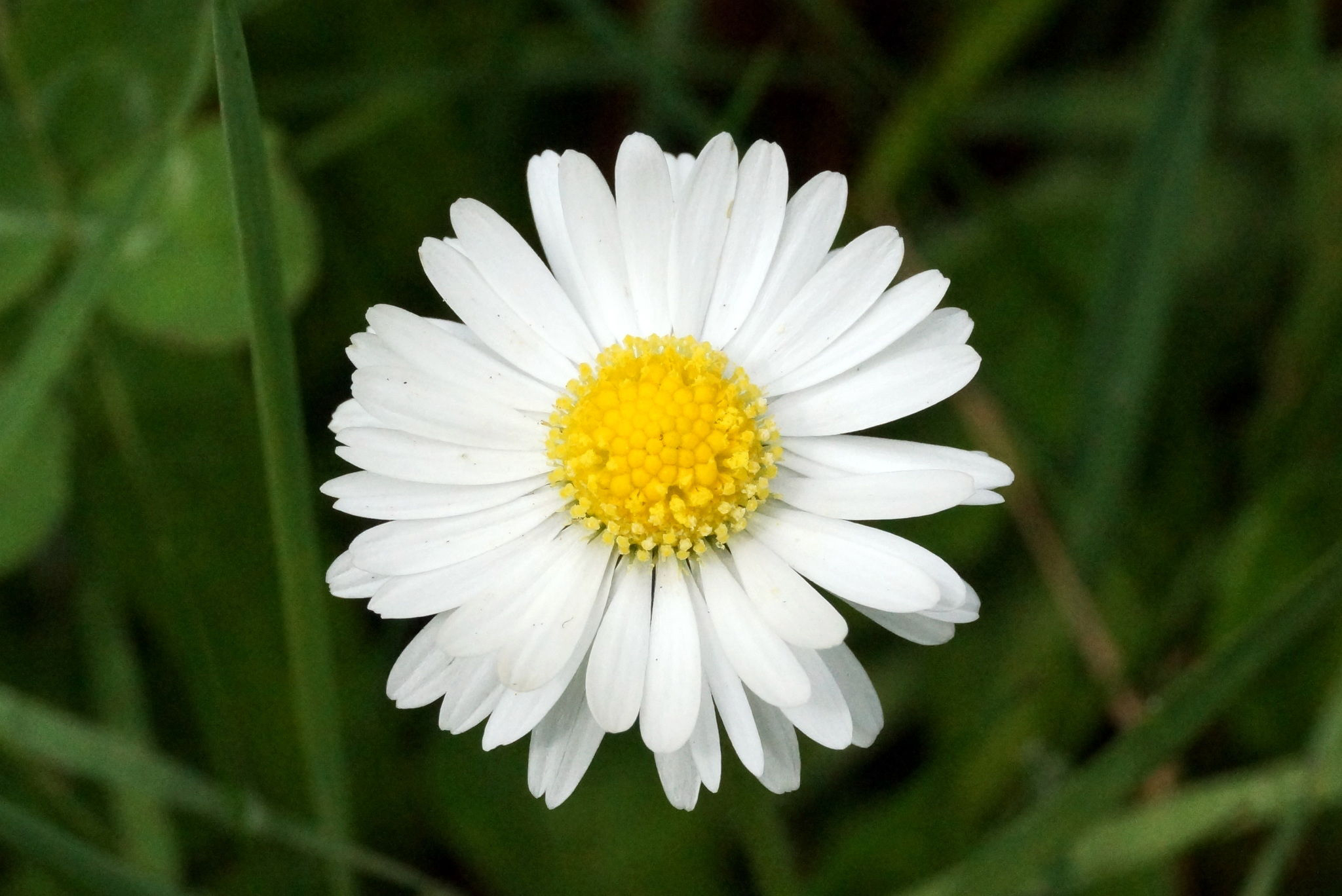 Daisy Facts And Health Benefits