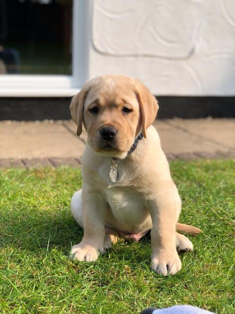 How To House Train a Lab Puppy, How To House Train a Lab Puppy