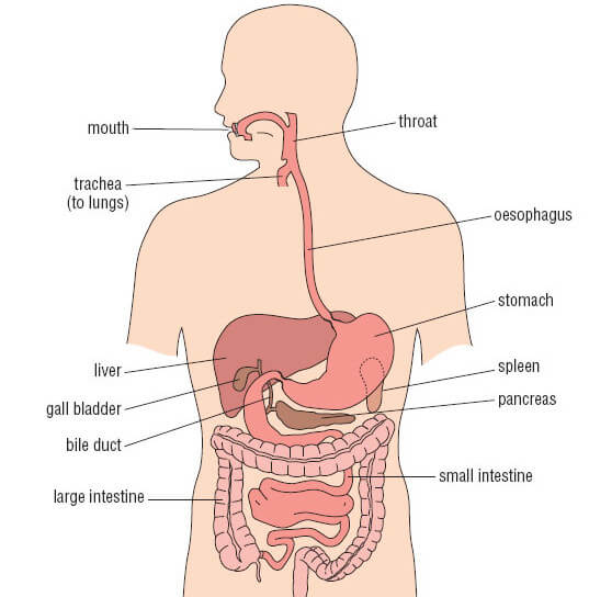 Diagram Of Stomach And Body - Njawwajwiitimmarshallinfo \u2022