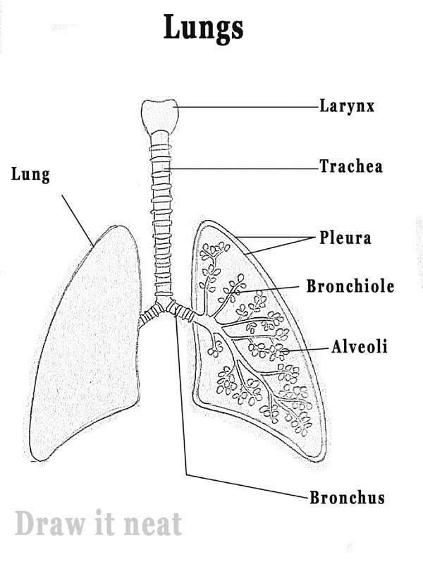 labeled diagram of alveoli