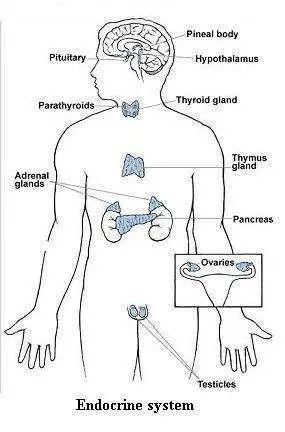 endocrine system labeled diagram