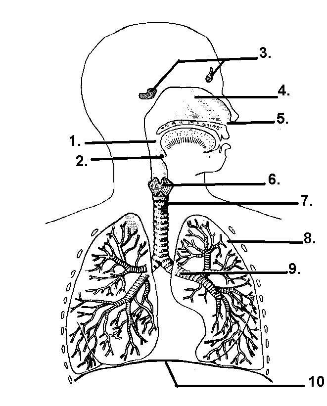 respiratory system diagram blank with answers