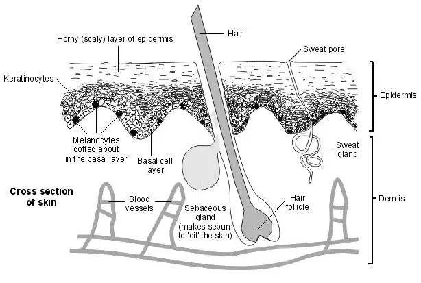 Melanocytes Cell Diagram