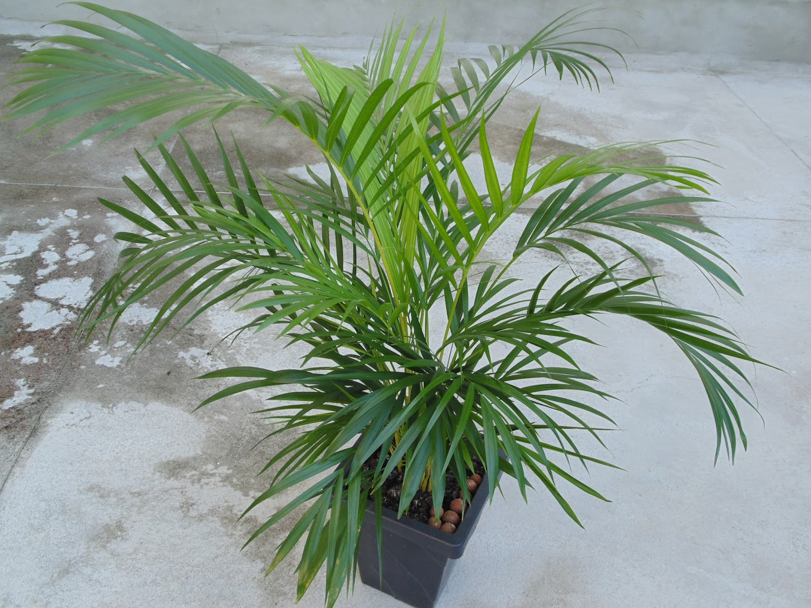 Yellow Palm Areca Palm Chrysalidocarpus Lutescens Which Is The Right Plant For Your Room Healthinasecond
