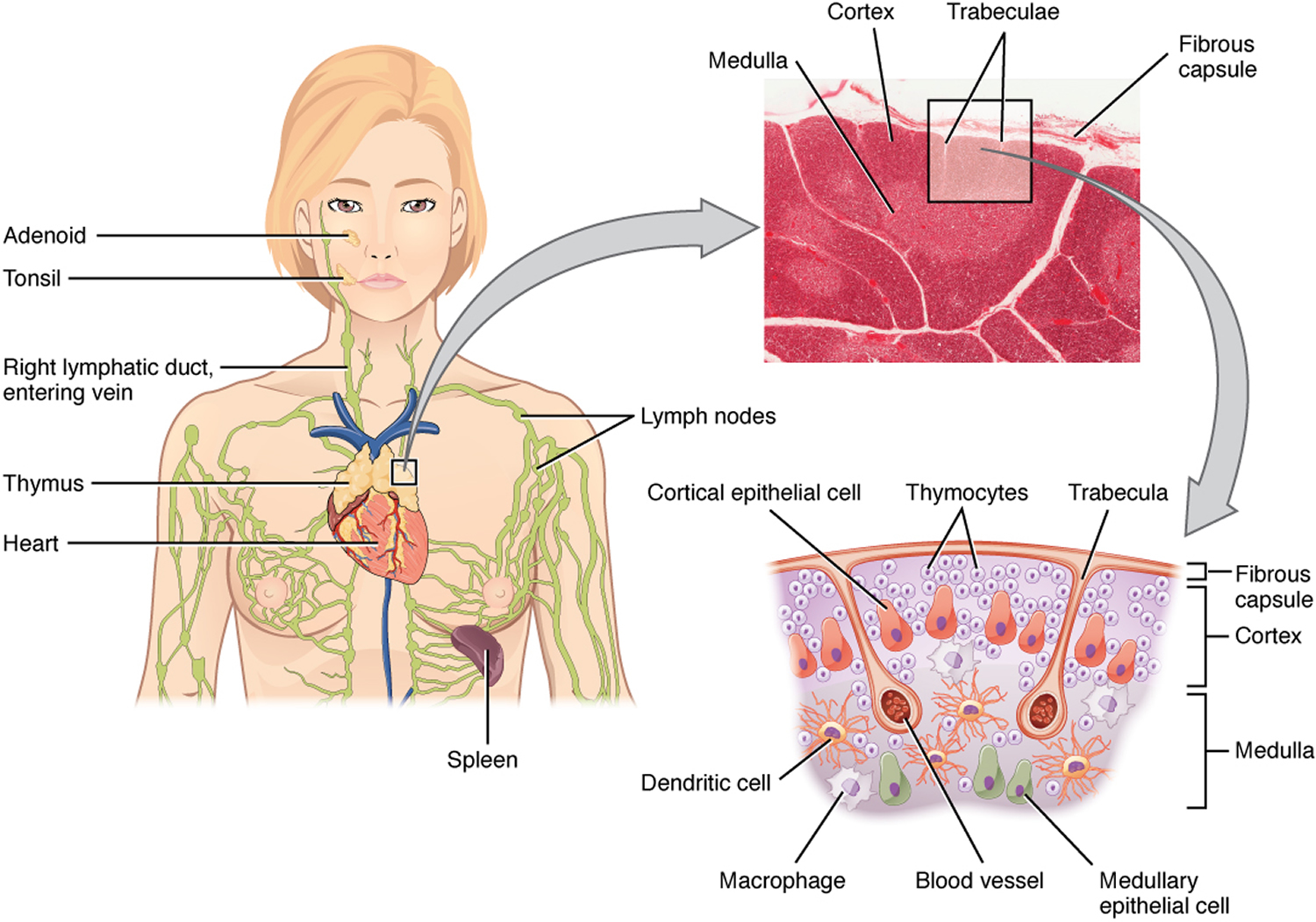 Thymus Function Locations And Role In Immune System