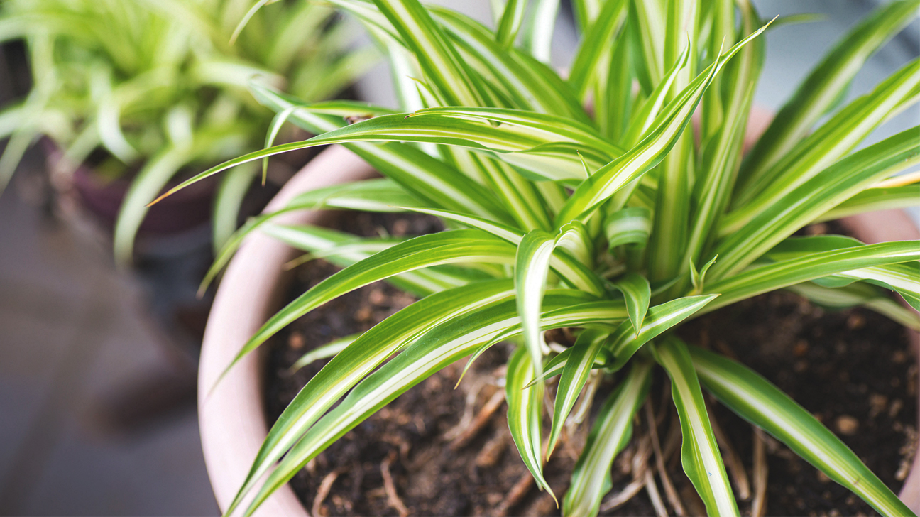 Chrysalidocarpus Space For Life The Best Air Purifying Plants