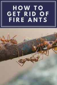 get rid of ants in carpet  Floor Matttroy