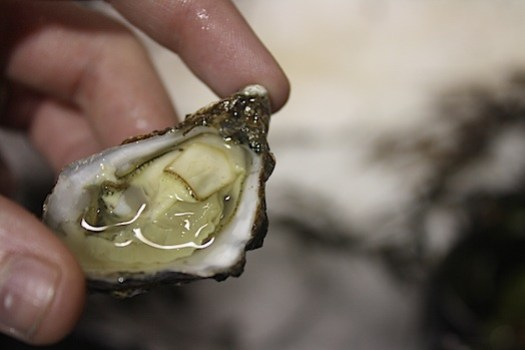hog island oysters
