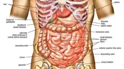 human-anatomy-abdomen