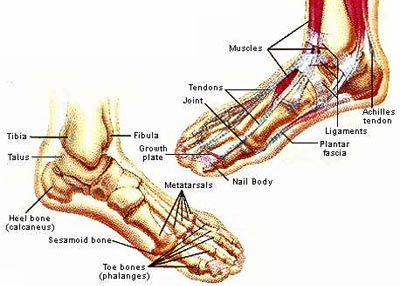 human-anatomy-feet