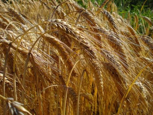 Barley - net_efekt