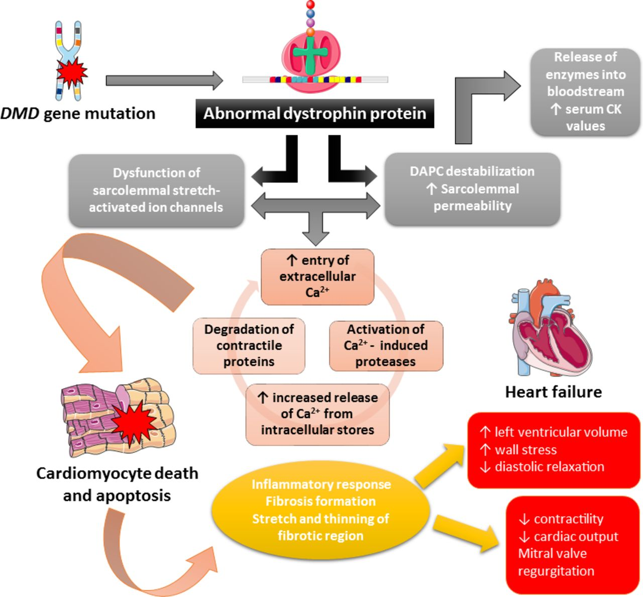 Duchenne Diagnosis Age A Current Approach To Heart Failure In Duchenne Muscular