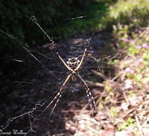 Orb-weaver, Garden Spider