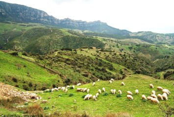 Sheep grazing on the hills of Sardinia, Italy
