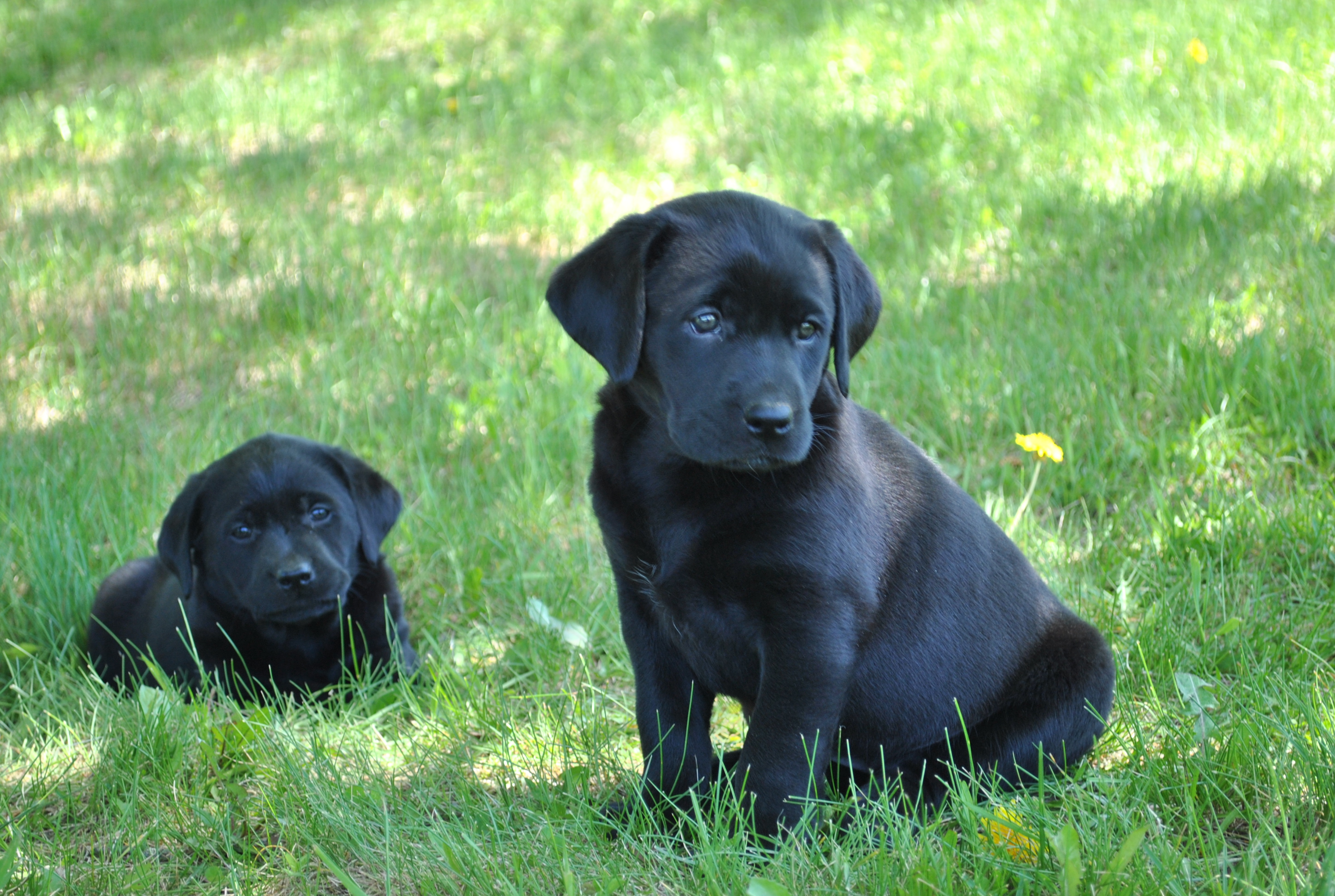 Yellow Lab Dogs For Sale Labrador Puppy Photo Gallery Heather Hollow Labradors