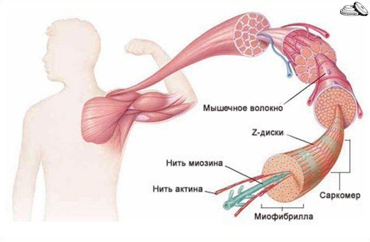 Строение мышечных волокон