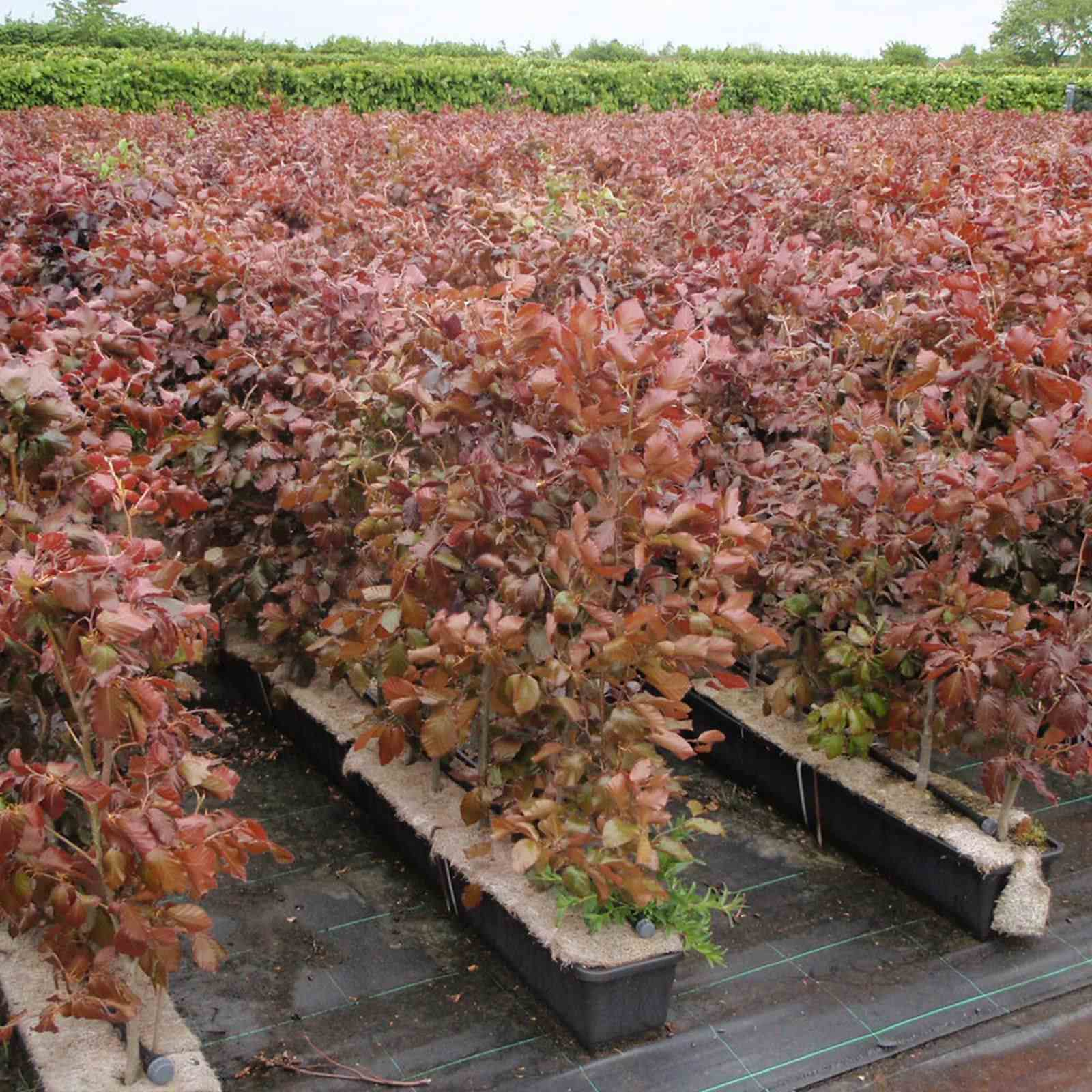 100cm 1m Purple Beech 16l 80 100cm 1m Trough Hedges Direct Uk