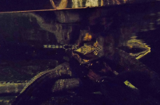 Henry Doorly Zoo & Aquarium Kingdoms of the Night Alligators
