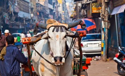 Indian cow cart
