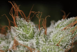 Trichome Crystals